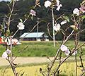 二季咲きの桜(アーコレード)